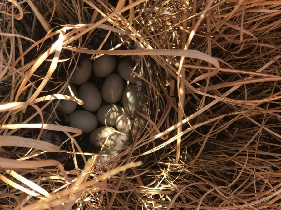 The+eggs+are+in+a+patch+of+grass+in+the+courtyard.+They+are+expected+to+hatch+soon.