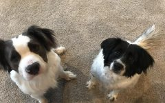 Tommy (left) and Mallory (right) were both adopted from Dolly's Legacy Animal Rescue based in Lincoln, Nebraska. They were adopted about 2 years apart.